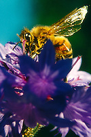 BEES (POLLINATION)<br /> Honeybee Gathering Pollen<br /> Apis mellifera