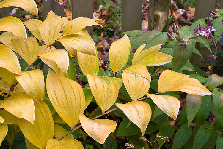 Polygonatum odoratum var. pluriflorum 'Variegatum' AGM (=P. falcatum 'Variegatum') in autumn fall color