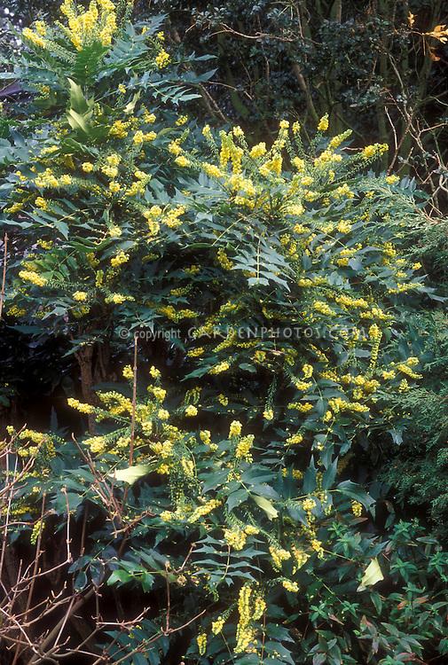 Mahonia x media 'Charity in yellow flowers