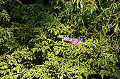Wood Pigeon (Columba palumbus) Feeding on leaves. The Wood Pigeon also feeds on Seeds, leaves, fruit (esp. of Ivy), buds and root crops.