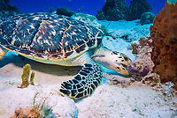 Hawksbill sea turtle, Eretmochelys imbricata, munching on a sponge at Paso del Cedral Reef in Cozumel, Mexico, Caribbean Sea, Atlantic Ocean