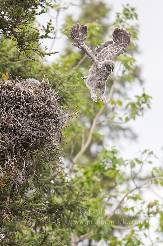 The first of three Great Gray Owlets leaps from the nest atop a dwarf mistletoe broom, 50 feet off of the ground. Great Gray Owls leep from the nest when they are about a month old and cannot yet fly.