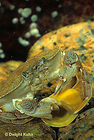 1Y34-017z  Rock Crab - with shell in claw - Cancer irroratus