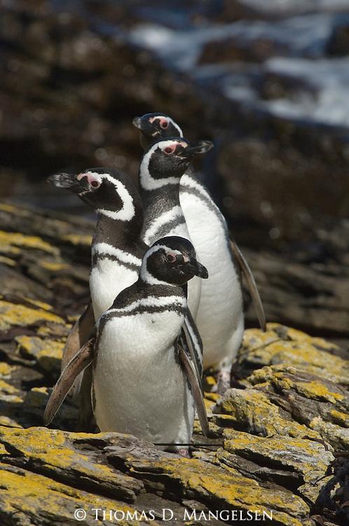 Magellanic penguins on Steeple Jason Island in the Falkland Islands.