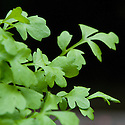 Greek cress (Lepidium sativum), sometimes also known as garden cress, pepper cress, or pepperwort.