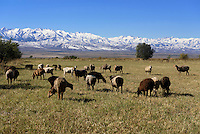 Schafherde im Shu-Tal vor Tianshan-Bergen, Kirgistan, Asien<br /> flock of sheep in the Shu Valley in front of Tianshan mountains, Kirgistan, Asia