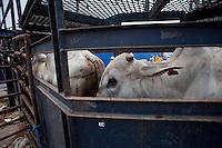 O navio MV Trigguer, de bandeira libanesa, carrega 10.200 cabeças de gado com destino a Venezuela, de onde retorna para novo carregamento, este para o Libano.  Com cinquenta tripulantes sírios e capacidade para transportar mais de  10.500 cabeças de gado. Foto Paulo SantosPorto de Vila do  Conde, Barcarena, Pará, Brasil.08/10/2013