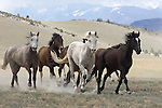 The Tobacco Root Mountains and open prairies set the mood while a herd horses in full gallop run to the ranch in Three Forks, Montana.