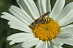 Yellow Jacket in a Daisy flower