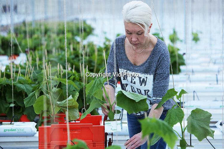 Foto: VidiPhoto<br /> <br /> HUISSEN - Komkommerkweker Jan Aaldering uit Huissen bij Arnhem maakt zich op voor het nieuwe seizoen. Het plaatsen van de nieuwe komkommerplantjes in schone kassen is altijd een feestelijk moment. Vanaf maandag worden door het voornamelijk Poolse personeel van Komkommerkwekerij Jakom in twee dagen tijd zo'n 60.000 jonge plantjes neergezet, in 5,6 ha kassen. Begin februari worden dan de eerste van in totaal 10 miljoen komkommers geoogst. Hoewel de komkommerprijzen het afgelopen jaar opnieuw te laag waren om winst te maken, ziet Aaldering het nieuwe seizoen iets positiever tegemoet door het faillissement van enkele collega's, waardoor er zo'n 10 procent minder komkommers gekweekt worden in 2015. Dat kan het verschil vormen tussen winst en verlies. Omdat concurrent Spanje het seizoen steeds langer maakt, worden kwekers gedwongen steeds eerder te stoppen en later te beginnen met de teelt om nog iets te kunnen verdienen. Zo'n 75 procent van de Nederlandse komkommers is bestemd voor de buitenlandse markt.