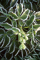 Frost on plant in winter, perennial foliage plant Helleborus argutifolius hellebore . Rime on edges