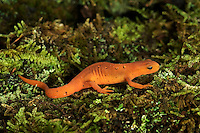 Red-Spotted Newt (Notophthalmus viridescens viridescens). The juvenile stage called a red eft migrates to lakeshore & woodlands to mature. After two years of damp woods, they return to ponds as adult newts. .Nova Scotia. Canada.