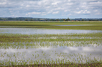 Flooded maize crop in Lincolnshire <br /> ©Tim Scrivener Photographer 07850 303986<br />      ....Covering Agriculture In The UK....