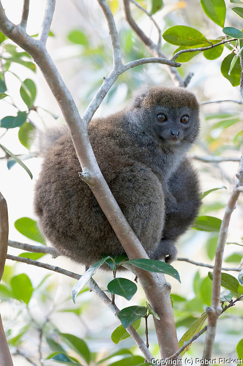 Eastern Lesser Bamboo Lemur, Hapalemur griseus, sitting in tree, Near Mantadia National Park, Andasibe, Madagascar, Vulnerable on the IUCN Red List and listed on Appendix I of CITES, One of the smallest of the bamboo lemurs
