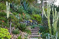 Hillside garden design with succulents in San Diego garden of Jim Bishop and Scott Borden.