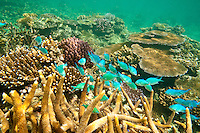 Coral Reef, Tavaura, Fiji.  (Sunday, March 20, 2011). Surf sessions at Wilkes and  Cloudbreak. Underwater image of the coral reef surrounding Tavaura Is. Fiji . Photo: joliphotos.com