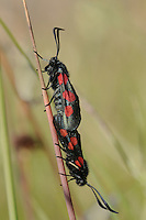 Five-spot Burnet - Zygaena trifolii