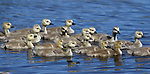 Goslings graze at Jake's Wetland pond in Minden, Nev., on Wednesday, May 7, 2014.<br /> Photo by Cathleen Allison