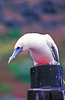 Redfooted booby sitting atop a wooden post