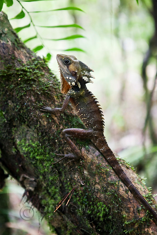 Boyd's Forest Dragon (Hypsilurus boydii) at Mossman Gorge in Daintree National Park.  Mossman, Queensland, Australia