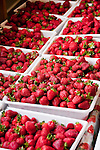 New Zealand, South Island, Marlborough, hydroponic strawberry production at Hedgerow Hydroponics. Photo #126388