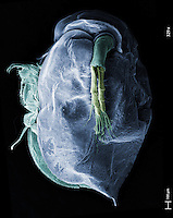 Scanning electron microscope image of a water flea (Daphnia magna).  Daphnia is commonly found in fresh water. Water fleas are filter feeders that ingest algae, protozoan, or organic matter. This image represents a field of view of 2 mm and was collected at a magnification of 329x...