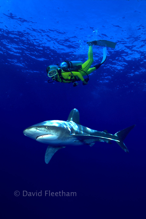 The oceanic whitetip shark, Carcharhinus longimanus, and diver (MR) were photographed on separate days and combine later in a computer.