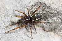 Kalksteinspinne, Nurscia albomaculata, Titanoeca albomaculata, Kalksteinspinnen, Kalkstein-Spinnen, Titanoecidae