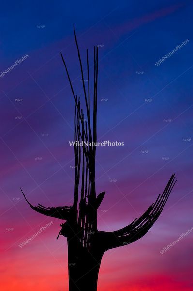 A red and blue Sonoran Desert sunset behind the ribs of a Saguaro Cactus