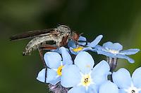 Gewürfelte Tanzfliege, Blütenbesuch auf Vergissmeinnicht, Empis tesselata, dance fly, dagger fly, Tanzfliegen, Rennfliegen, Empididae, dance flies, dagger flies