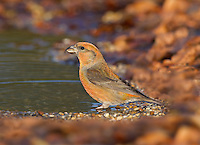 Common Crossbill Loxia curvirostra - Male. L 15-17cm. Extraordinary finch with crossed-tipped mandibles - used to extract seeds from conifer cones. Sexes are dissimilar. Adult male is mainly red but with brownish wings. Adult female is mainly greenish but with brownish wings. Immature birds are similar to adults of respective sexes but with duller colours. Juvenile is grey-brown and heavily streaked. Voice Utters a sharp kip-kip-kip flight call. Status Associated with mature conifer woodland (mainly Larch and spruces). Nomadic outside breeding season (in search of cone-bearing trees).
