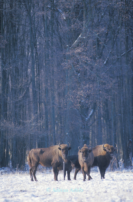 Wild Bison in the Bialowieza forest national park, Eastern Poland. This unique piece of woodland is the  remnant of  a vast primeval forest that once covered much of Europe.