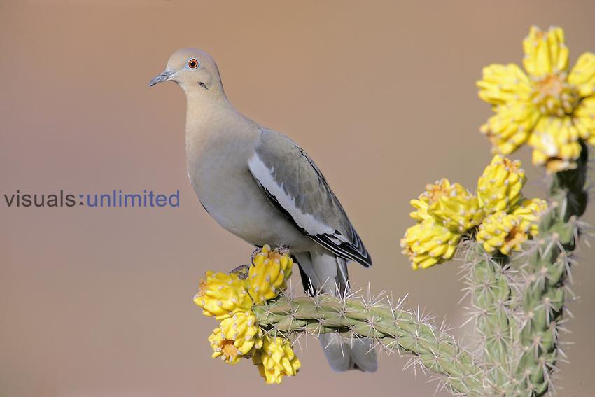 White-winged Dove (Zenaida asiatica) on a Cholla Cactus, Southwestern USA.