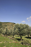 Isarael, Upper Galilee, Olive trees by Biria forest Scenic Route