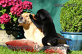 Bob, ANIMALS, REALISTISCHE TIERE, ANIMALES REALISTICOS, dogs, photos+++++,GBLA4305,#a#, EVERYDAY