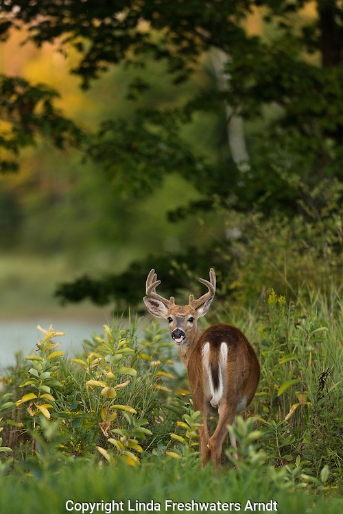 Young white-tailed buck in velvet