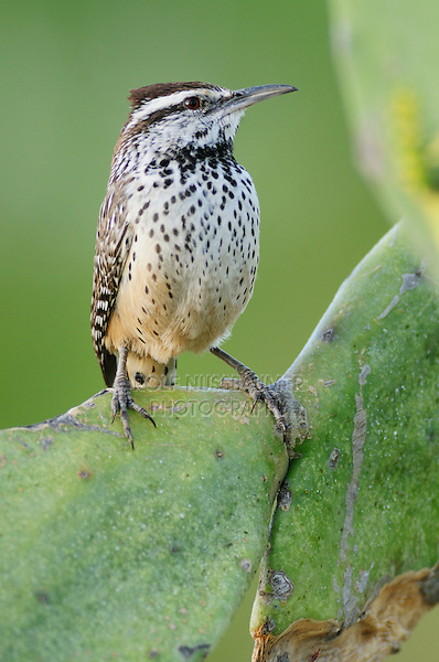 Cactus Wren (Campylorhynchus brunneicapillus), adult perched on Texas Prickly Pear Cactus (Opuntia engelmanni), Laredo, Webb County, South Texas, USA