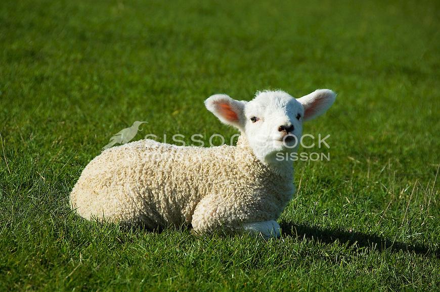 New Zealand spring lamb looking at camera. Sitting on green grass.