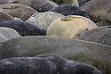 Southern Elephant Seal (Mirounga leonina) colony. St. Andrews Bay, South Georgia. November.