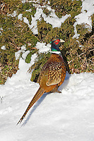 Ring-necked Pheasant aka Common Pheasant (Phasianus colchicus). Introduced to North America from Asia as a game bird. Winter. Nova Scotia. Canada.