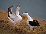 Royal Albatross at Taiaroa Head Otago Peninsula. Otago Region. New Zealand.