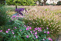 Grass garden with roses, Rosa 'Nearly Wild' and Fountain Grass Pennisetum alopecuroides; Meadow garden Chicago
