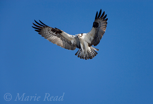Osprey (Pandion haliaetus) hovering looking down in search of fish, Montezuma National Wildlife Refuge, New York, USA