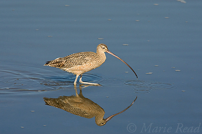 Long-billed Curlew (Numenius americanus), wading in water, Bolsa Chica Ecological Reserve, California, USA
