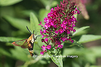 04005-00314 Snowberry Clearwing (Hemaris diffinis)  on Butterfly Bush (Buddleia davidii) Marion Co.  IL