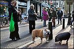 Nederland, Utrecht, 12-03-2011 Bulldog en Gottinger minivarken op zaterdag middag in de Zadelstraat tussen het winkelend publiek dat het tafereeltje met  met hun smartphones fotografeerd. FOTO: Gerard Til
