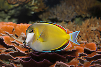 QX1169-D. Japanese Surgeonfish (Acanthurus japonicus), aquarium photo.<br /> Photo Copyright &copy; Brandon Cole. All rights reserved worldwide.  www.brandoncole.com