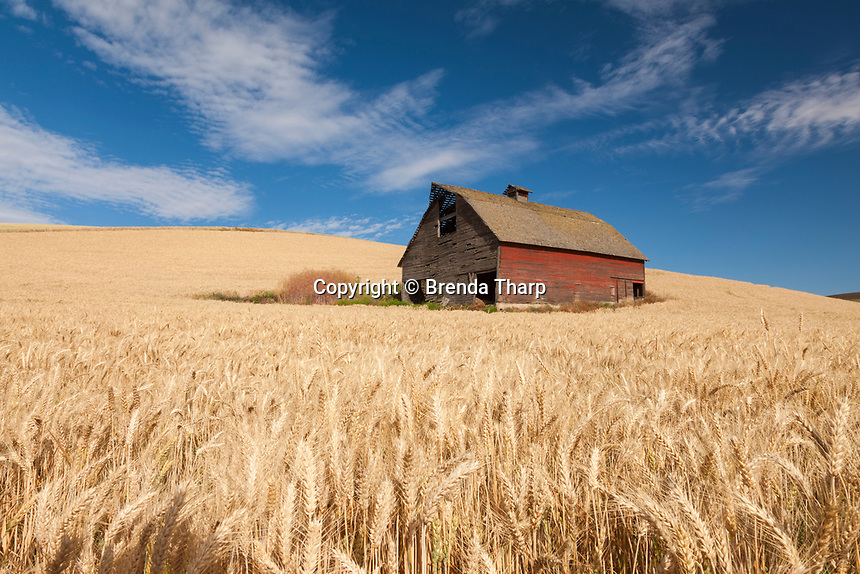 An old red barn sits surrounded by golden wheat on a hillside in the Palouse region of eastern Washington.