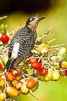 Black-cheeked Woodpecker, Belize