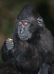 Black Macaque Monkey eating fruit in Tangkoko Park, Sulawesi, Indonesia.  All wild animals.